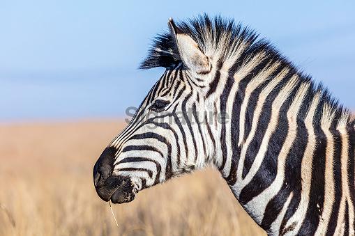 Zebra (Equus quagga) a side view