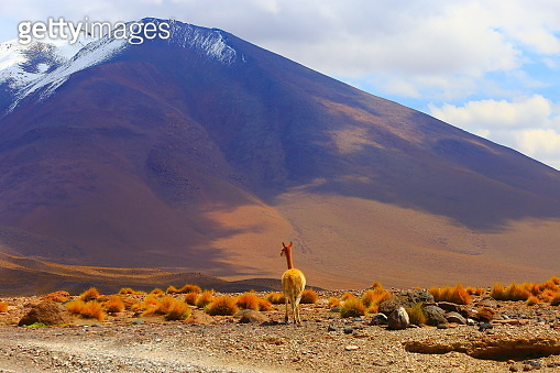 Vinuca guanaco andean llama, animal wildlife in Bolivian Andes altiplano and Idyllic Atacama Desert, Volcanic landscape panorama – Potosi region, Bolivian Andes, Chile, Bolívia and Argentina border