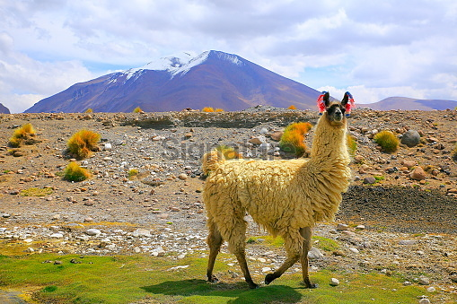 Alpaca andean llama, animal wildlife in Bolivian Andes altiplano and Idyllic Atacama Desert, Volcanic landscape panorama – Potosi region, Bolivian Andes, Chile, Bolívia and Argentina border
