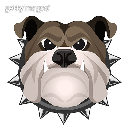 Angry bulldog face in metal collar vector realistic illustration.
