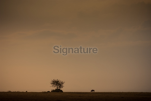 Lone Wilderbeest grazing in the African savannah at sunset