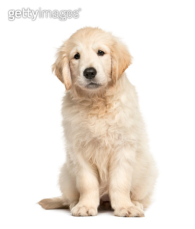 Golden retriever puppy sitting, isolated on white