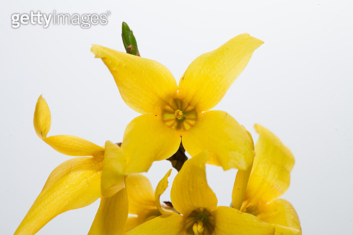 Golden Bells Plant Forsythia in a white background