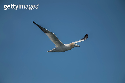 Gannet, flying in a blue sky, close up
