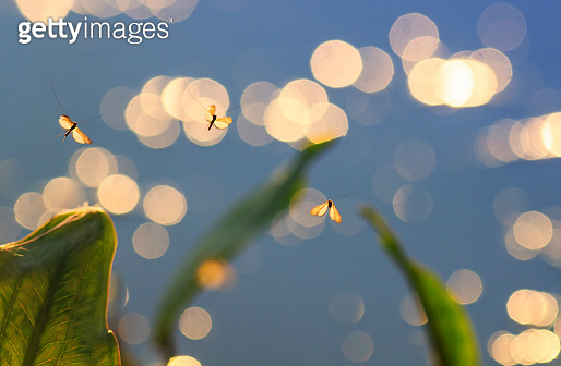little insects mosquitoes hovering in the air towards the bright Golden sunset