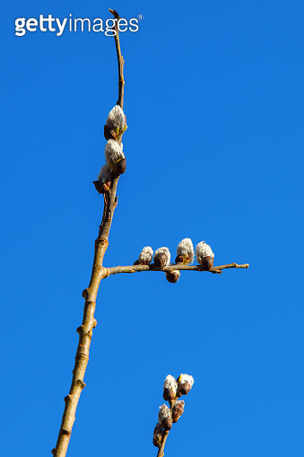 Pussy willow in spring