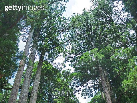 Tall cypress tree