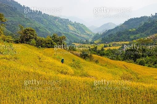 Rice fields on terraced of Hoang Su Phi, Ha Giang, Vietnam. Rice fields prepare the harvest at Northwest Vietnam.Vietnam landscapes.