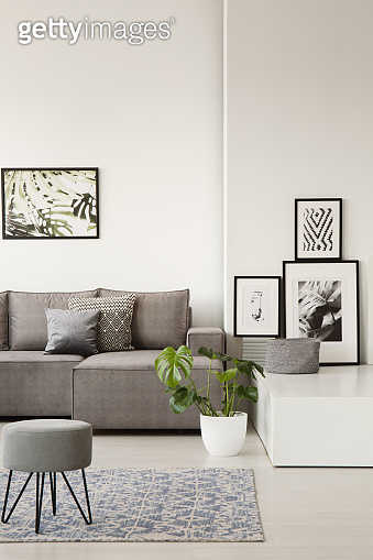 Gray couch with pillows behind a stool on blue carpet in bright living room interior with botanic posters and monstera plant. Real photo