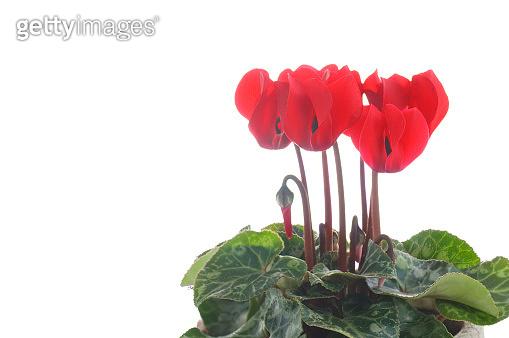 red flower of cyclamen