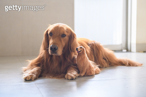 Golden retriever and its own model