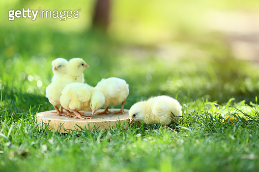Little chicks eating feed on wooden board