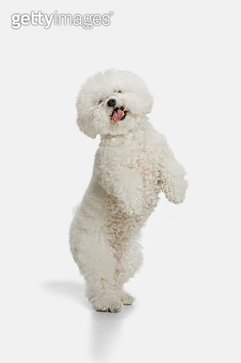 A dog of Bichon frize breed isolated on white color
