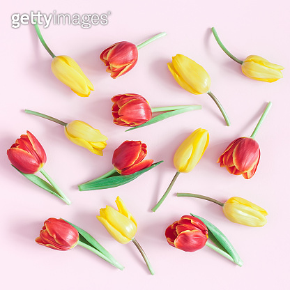 Tulip flowers on pink background. Flat lay, top view, square