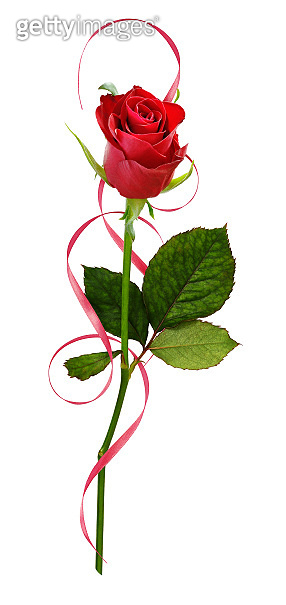 Closeup of red rose flower and curled satin ribbon