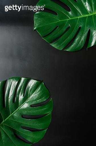 Green monstera leaves border frame on black background