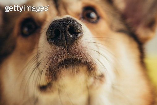 close up of nose of pembroke welsh corgi dog
