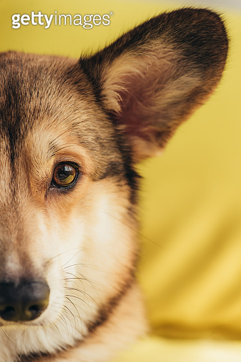 close up of pembroke welsh corgi dog sitting on yellow