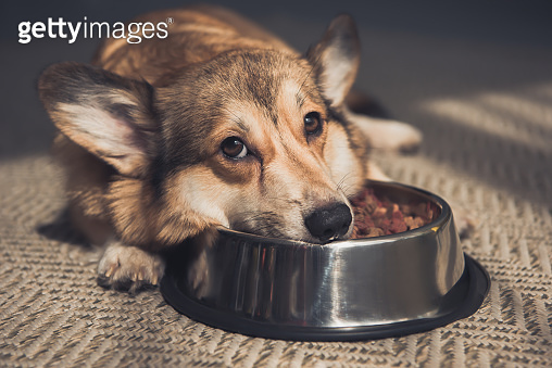 Sad Pembroke Welsh Corgi lying on bowl full of dog food