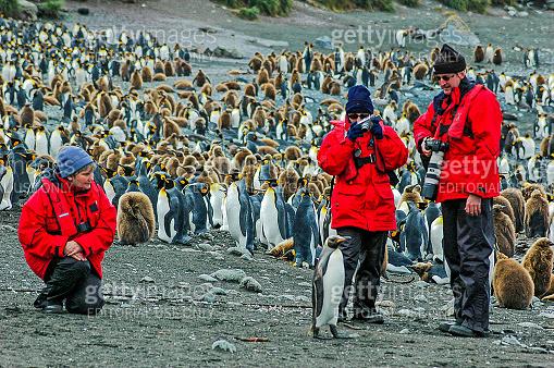 King penguin colony, Sandy Bay, Macquarie Island, Australia