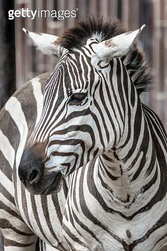 Zebra in close up.