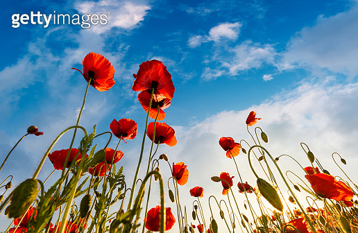 field of red papaver flower shot from below