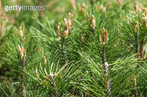 Picture of pine branchlets early spring, pine blooms