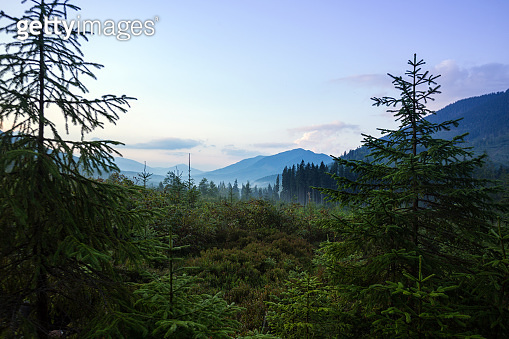 beautiful mountain landscape. background of pine forests in morning fog'n