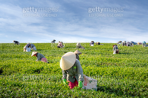 Workers of the tea farm are harvesting tea leaves in the early morning at the Cau Dat tea farm in Da Lat Town, Vietnam
