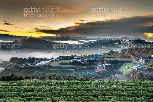 See the farmer's field cabbage early morning in Da Lat town, Vietnam.