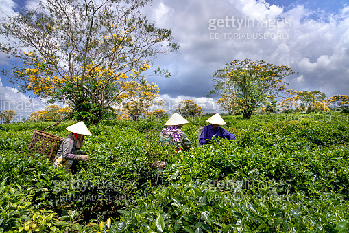 Workers of the tea farm are harvesting tea leaves in the early morning at the tea farm in Bien Ho Gia Lai province, Vietnam