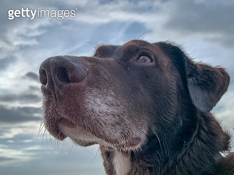 Chocolate Labrador Retriever looking off into distance with overcast skies in background.