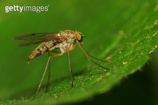 Macro of a Caucasian double-winged insect Mosquito mosquito sitting on a green leaf in the grass of the Caucasus foothills