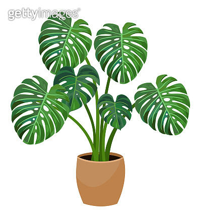 House plant monstera. Vector illustration.