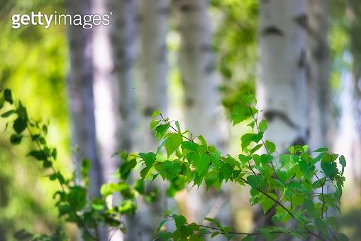 Birch branches.Birch Grove.