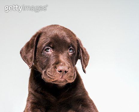 Portrait of Chocolate Labrador puppy