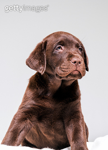 Chocolate Labrador puppy looking away on blanket