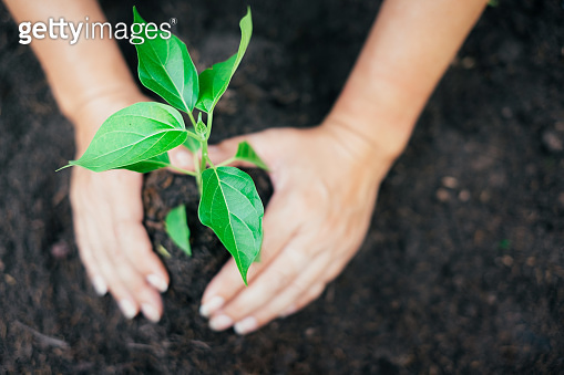 Two hands were holding seedling to be planted.