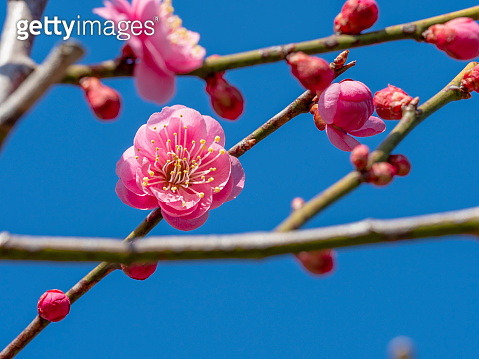 Ume is Japanese plum.