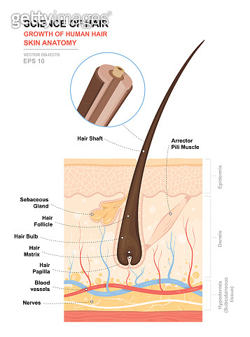 Anatomical training poster. Growth and structure of human hair. Skin and hair anatomy. Cross section of the skin layers. Detailed medical vector illustration