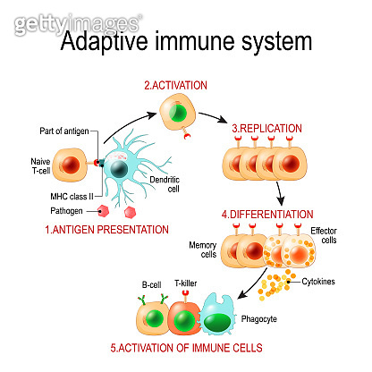 Adaptive immune system from Antigen presentation to activation of other immune cells.