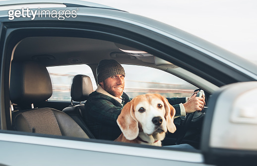 Man traveling by auto with his favorite pet beagle dog