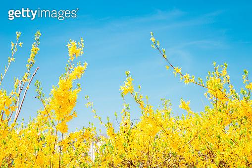 Forsythia flowers under blue sky