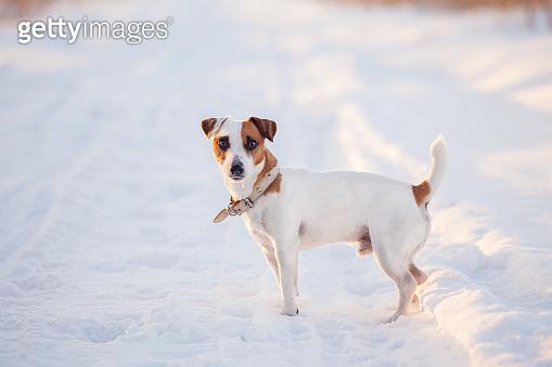 Dog walking at winter