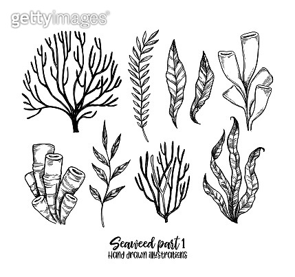 Hand drawn vector illustrations. Seaweed. Herbal plants in sketch style. Perfect for labels, invitations, cards, leaflets, prints etc