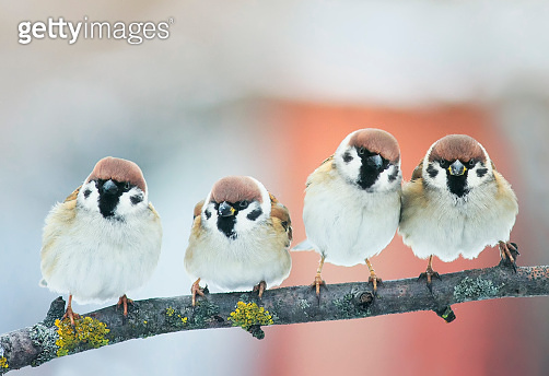 two pairs of small plump funny baby bird Sparrow sitting on a branch in the garden and look hungry waiting for parents