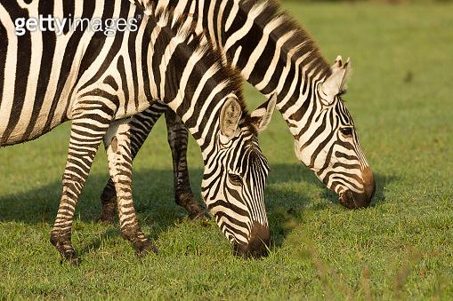 closeup of zebra