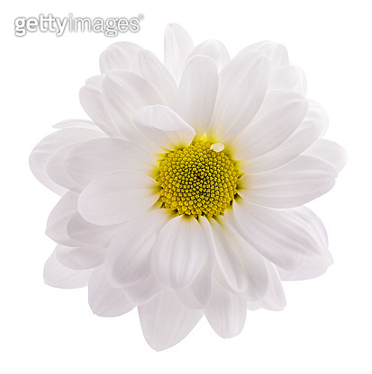 Daisy (camomile , marguerite, chamomile) isolated on white background with clipping path
