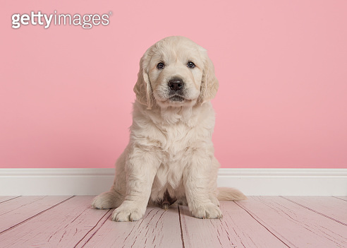 Cute golden retriever puppy looking at the camera sitting on a pink living room