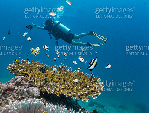 Women Scuba Diver near Staghorn Coral (Acropora)  supporting shoals of Indian Damselfish (Dascyllus cameus)